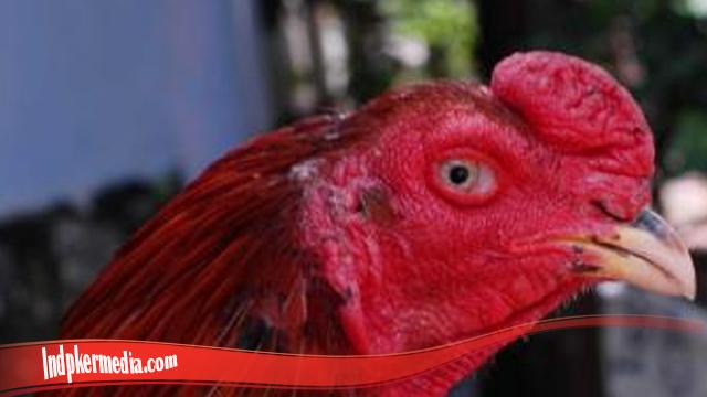 Tips Sukses Sembuhkan Mata Ayam S128